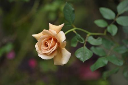 rose20141028-9.jpg