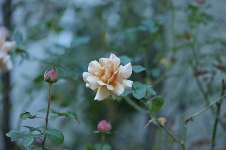 rose20141031-2.jpg