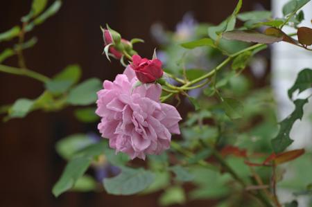 rose20141031-4a.jpg