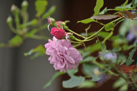 rose20141031-4b.jpg