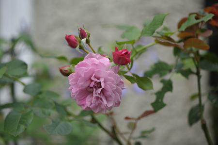 rose20141031-4c.jpg