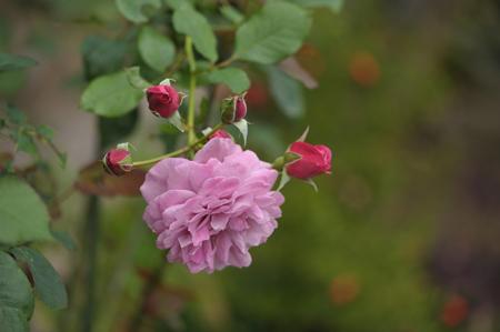 rose20141031-4d.jpg
