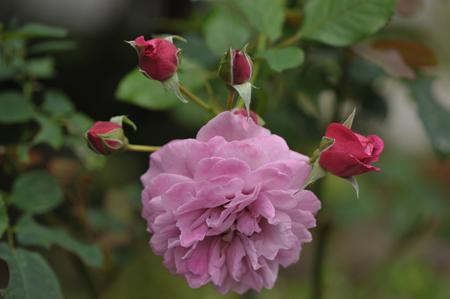 rose20141031-4e.jpg