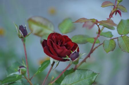 rose20141031-5.jpg