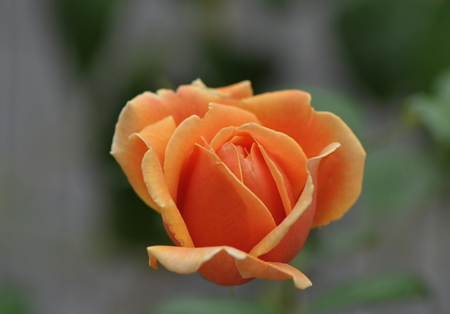 rose20141031-6.jpg