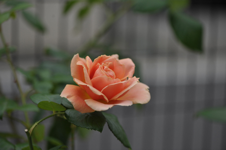 rose20141031-6a.jpg