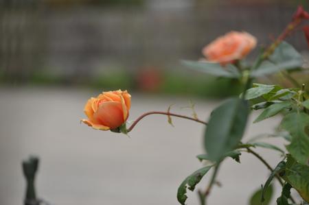 rose20141031-6b.jpg