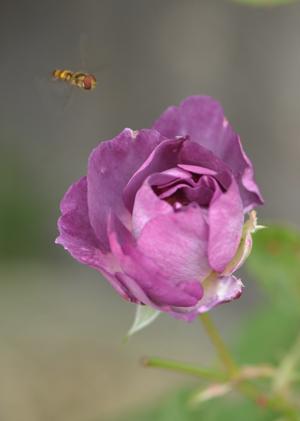 rose20141031-7.jpg