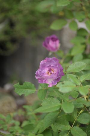 rose20141031-8.jpg