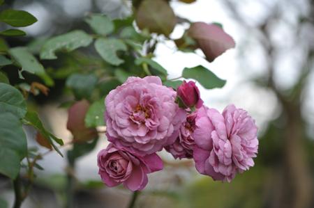 rose20141102-4.jpg