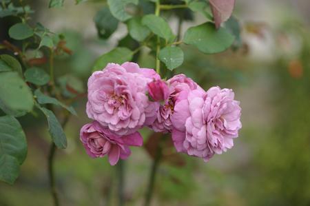 rose20141102-5.jpg