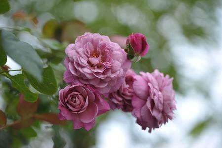 rose20141102-7.jpg