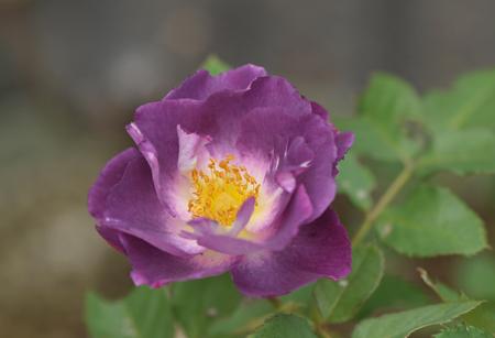 rose20141102-8.jpg