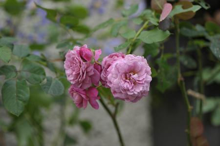 rose20141102-9.jpg