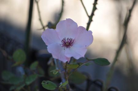 rose20141107-1.jpg