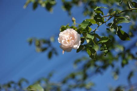 rose20141107-10.jpg