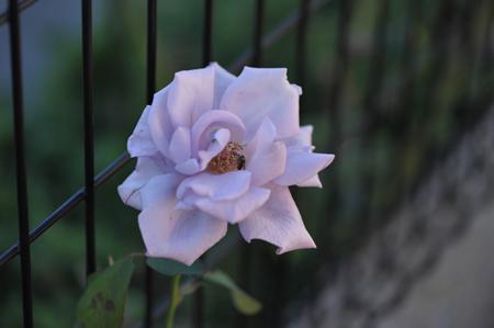 rose20141107-2.jpg