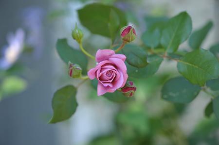 rose20141107-3.jpg
