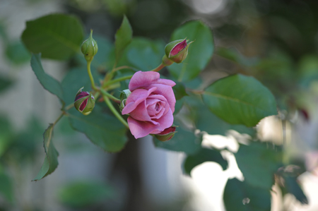 rose20141107-4.jpg