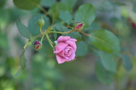 rose20141107-5.jpg