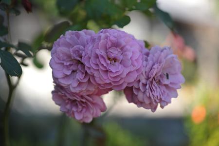 rose20141107-8.jpg