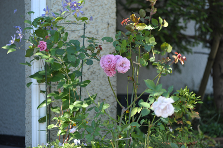 rose20141107-9.jpg