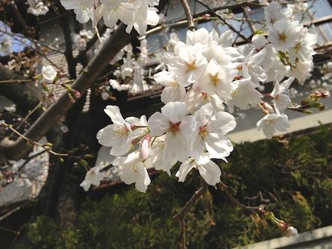 7389桜