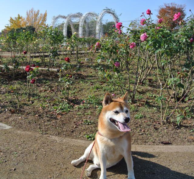 DSC_2379秋のバラ