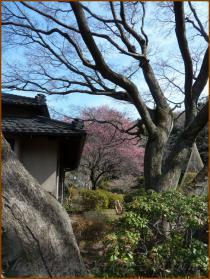 20130228 新江戸川橋公園 梅