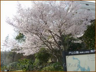 20130319 桜 戸山公園