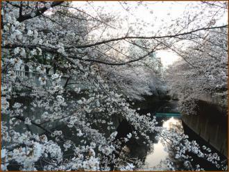 20130323 桜神田川 桜布巾1