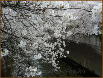 20130326 桜神田川 桜布巾2