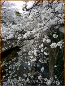 20130329 桜神田川 1
