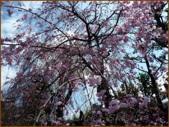 20130329 枝垂れ桜