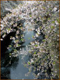 20130330 神田川 桜布巾3