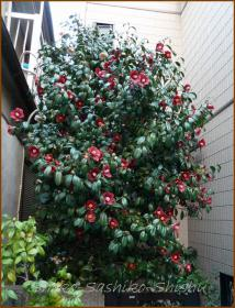 20130331 深紅の椿 春の花