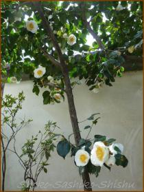20130331 白椿1 春の花