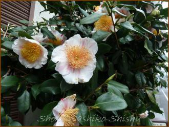 20130331 白椿2 春の花
