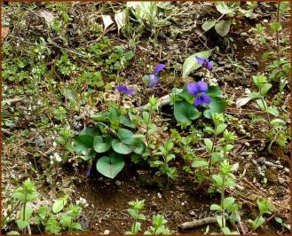 20130331 すみれ 春の花