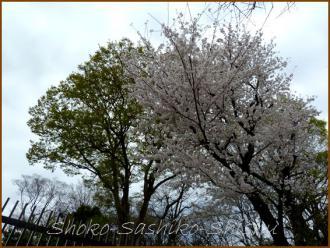 20130331 桜に若葉 春の花