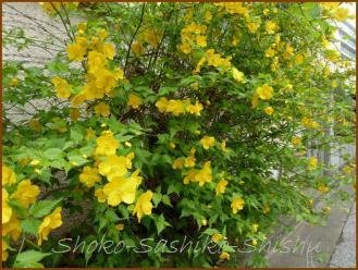 20130331 山吹 春の花