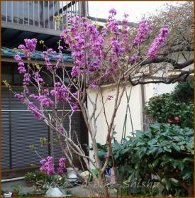 20130331 蘇芳 春の花