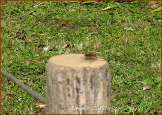 20141110 赤蜻蛉 1 木の上で