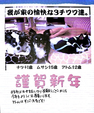 保護犬のロングコートチワワ