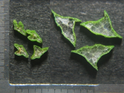 ヒメカンガレイ2タイプの茎横断面