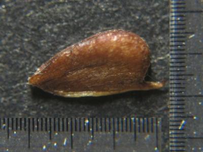 ホソバヘラオモダカの痩果