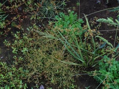 水抜き中の溜池底の植物達1