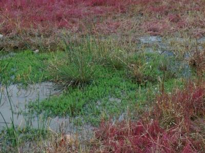 溜池畔のタチモ群落
