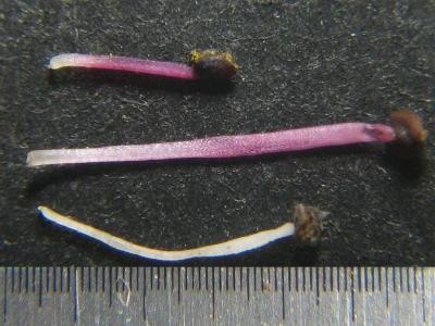 雄蕊の比較2