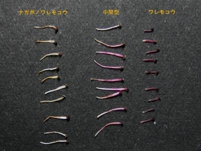 ワレモコウ類の雄蕊比較